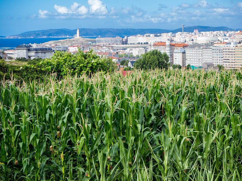 Contrastes coruñeses. #Coruña #millo #maiz #torredehercules #olympusomd #photography