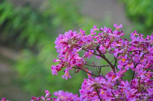 Flores de Lacachos