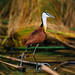 Small photo of African Jacana (Actophilornis africanus)