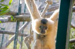 Tristesse du Gibbon
