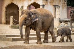 Elefanten_MG_1496