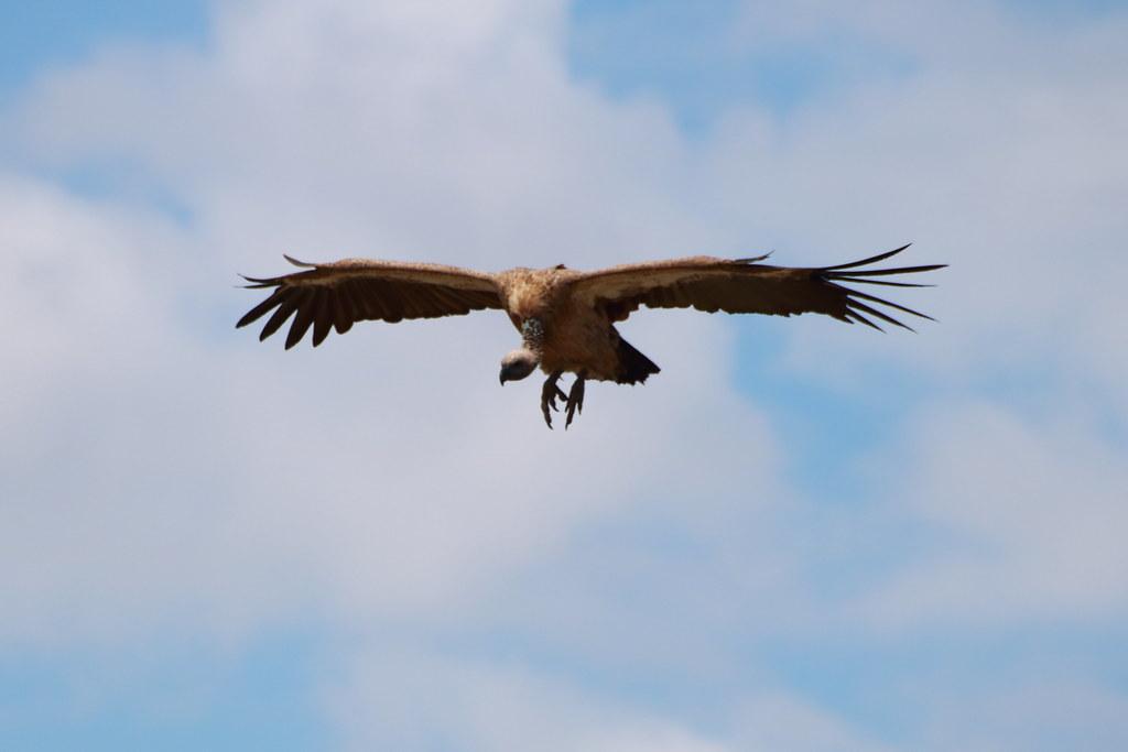 Vulture arriving