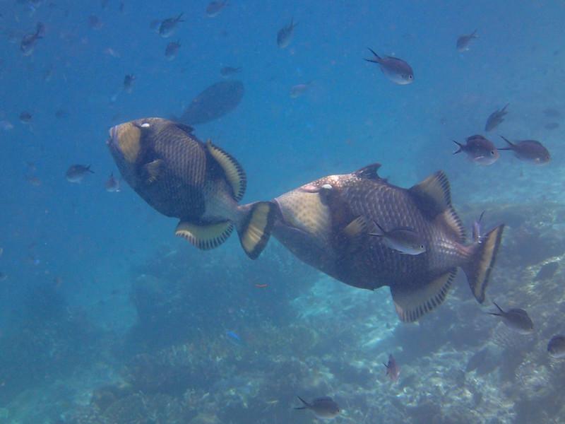 Titan triggerfish_гигантский спинорог_P8060177+