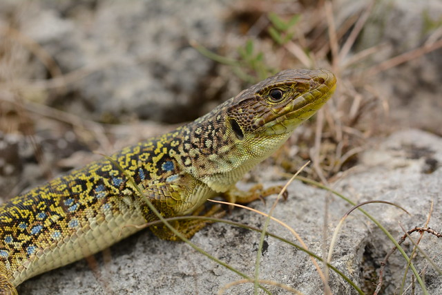 eyed lizard - Timon, Nikon D7100, Sigma Macro 105mm F2.8 EX DG OS HSM
