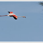 Flamant rose en vol