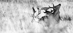 Fallow Bucks in Long Grass