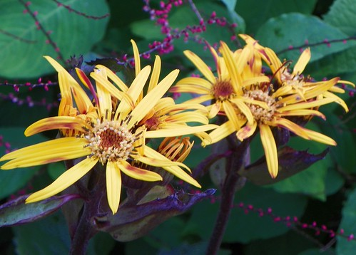 Ligularia dentata 'Britt-Marie Crawford'