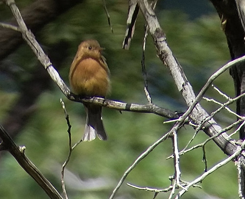 tufted flycatcher, Carr Canyon, Arizona