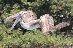 Clearwater Beach FL Pelican