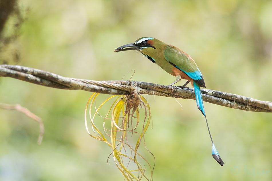 Türkiismotmot, Eumomota, superciliosa, Turquoise, browed, Motmot, Carara, National, Park, Costa, Rica, Kaido Rummel