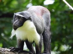 Cerza Zoo - roloway monkey. (4)