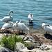 Swans, Rheindelta Lagune, Hard, Austria