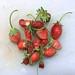 A Big Strawberry Haul... by cogdogblog
