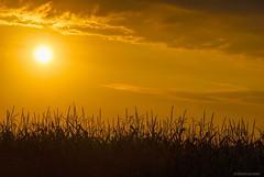 Harvest sun....