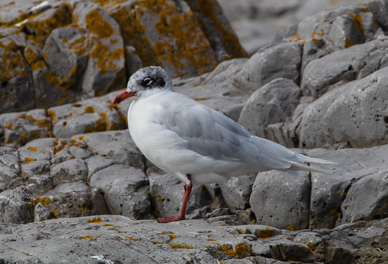 Mediterranean Gull 123a417