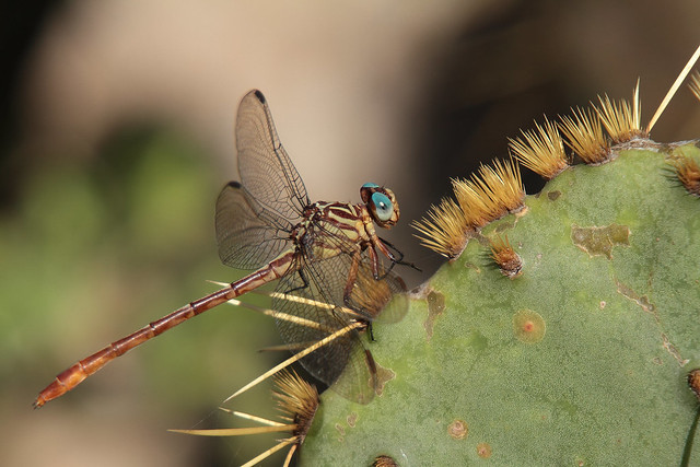 Russet-tipped Clubtail, Canon EOS 7D, Sigma 50-500mm f/4-6.3 APO HSM EX