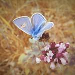butterfly blue...