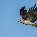 Red Tailed Hawk by Watchdog Images