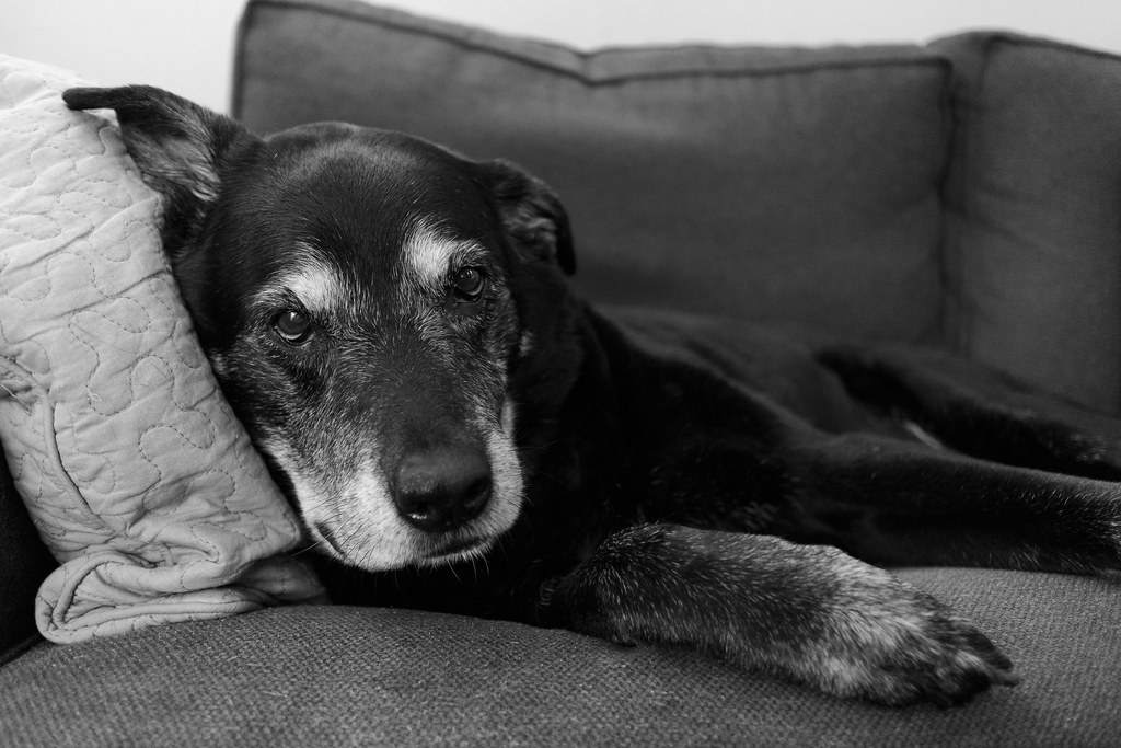 A black-and-white picture of our dog Ellie looking very relaxed on my love seat with her head against the pillow