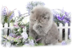 Blue (Gray) Kittens