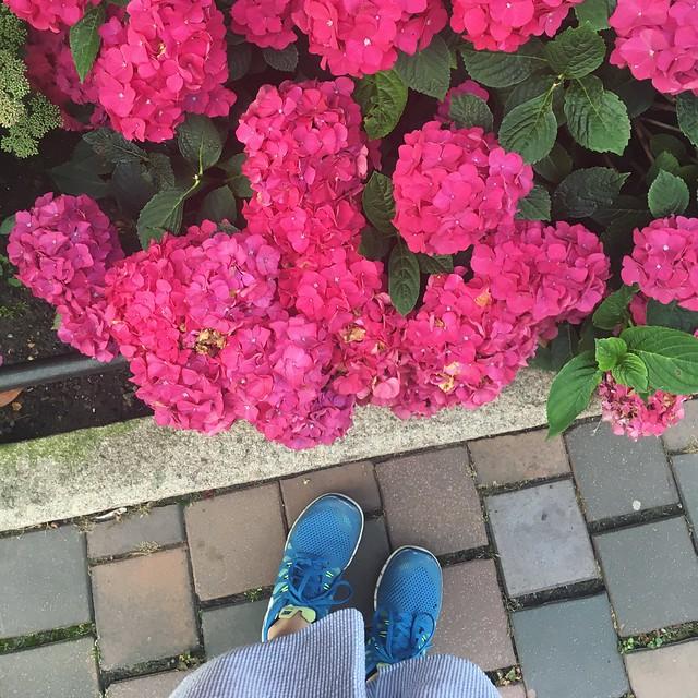 tuesday, morning walk, hydrangea, hortensia, helsingborg