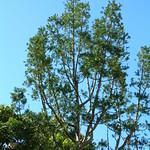 Agathis robusta crown