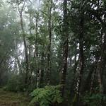 Alnus nepalensis tree
