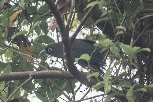 Blue-faced Malkoha