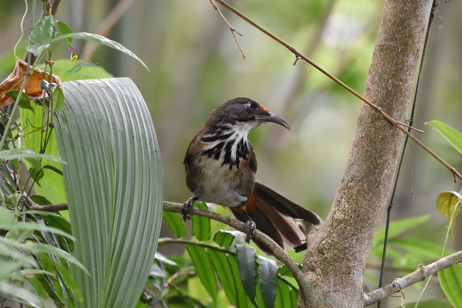 Rusty-cheeked_Scimitar_Babbler_2047