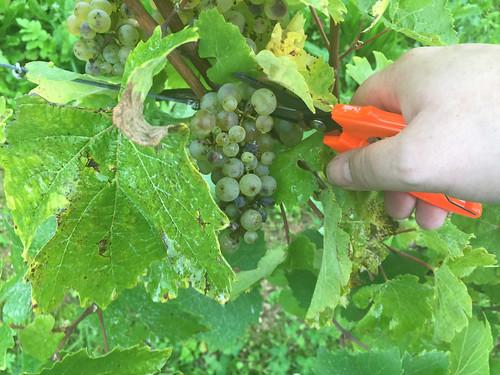 08 - Read wine / Wein lesen