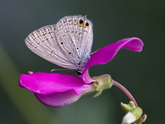 swainsona galegifolia
