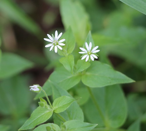 Water Chickweed near Lindfield
