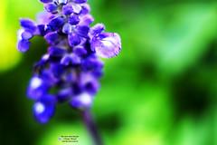 violette Blüte, violet Flower