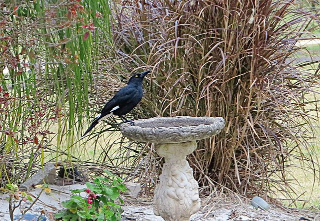 pied currawong, Canon POWERSHOT G1 X
