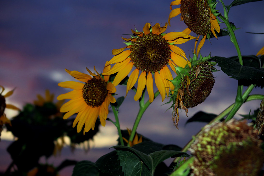 A Gorgeous Sunset & Sunflowers