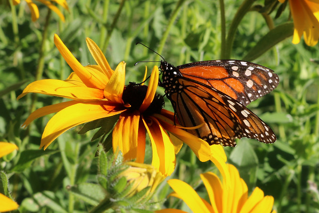 tattered monarch sitting on the right side of the flower