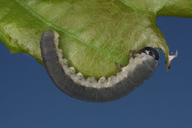 Apethymus serotinus