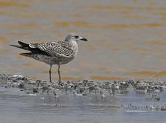 Larus argentatus - Herring gull - Gaviota arenquera