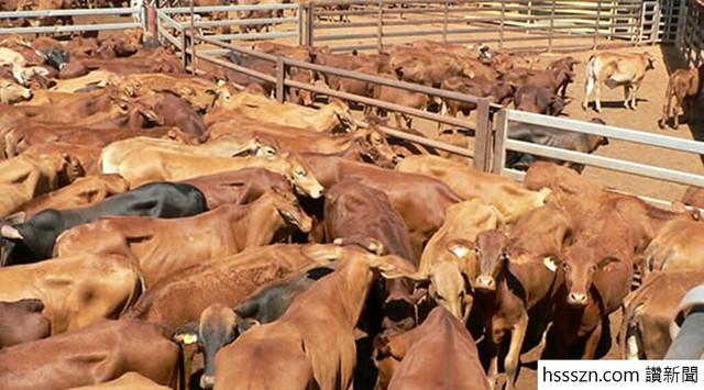 Beef-cattle-in-yard
