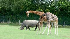 Cerza Zoo - rothschild's giraffe and rhino