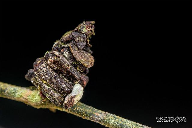 Bagworm moth larva (Psychidae) - DSC_8332