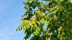 Tree of heaven fruit and foliage