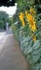 The sunflower in neighborhood 2017/07 No.2(taken by film camera). by HIDE@Verdad
