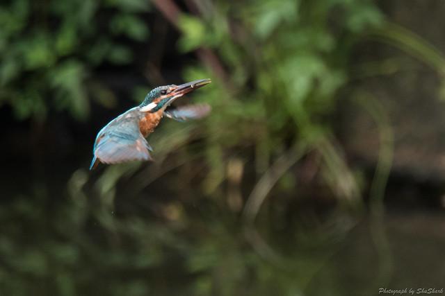 20170819-Kingfisher-DSC_0326