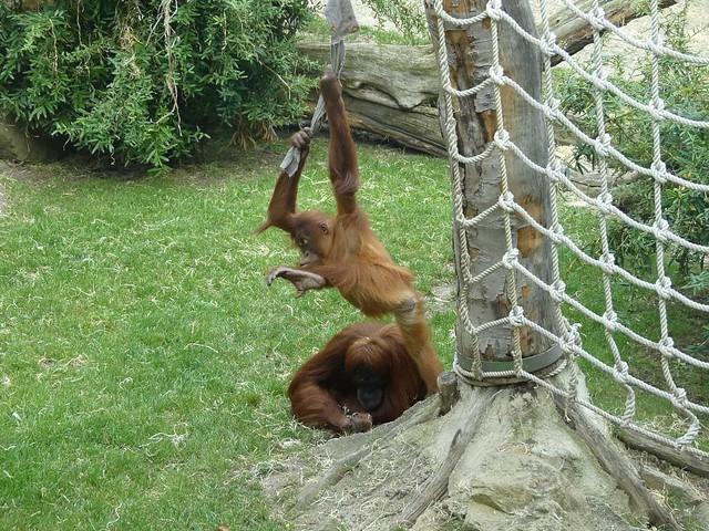 OranOrang-Utan, Zoo Prag