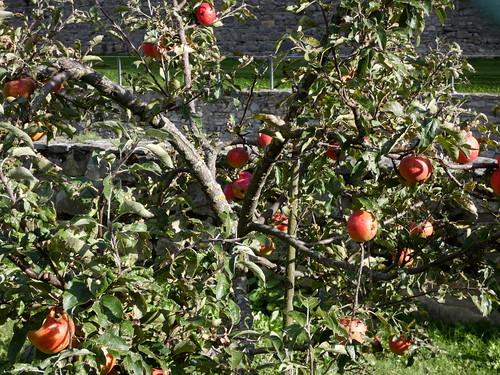 Apfelbaum zu Rosch haSchanah