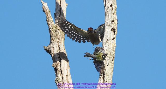 Picchio rosso maggiore - Dendrocopos major - Great spotted woodpecker