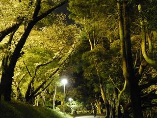 千葉公園 野球場の夜桜09