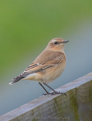 Wheatear - Female - (Oenanthe oenanthe) 'L' for large
