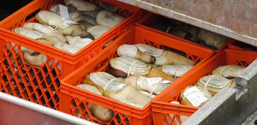 Crates of live Geoducks waiting to be loaded into a refrigerated truck, arriving in China the next day